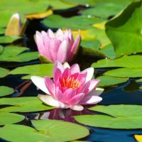 riddle, e-news, brain teaser, water lily, pond, challenge, newsletter