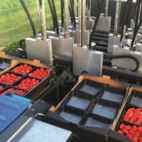 The conveyor belt delivers the berries to the packaging area.